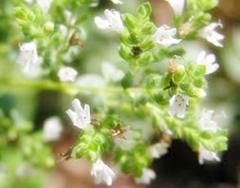 Flor de Orégano Portada